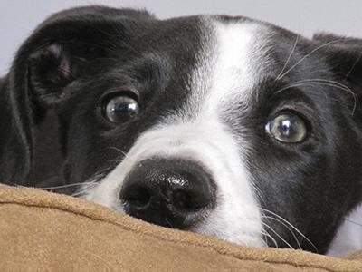 Como educar al cachorro perfecto - El encantador de perros.